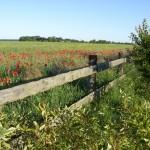 Blick auf weites Feld mit Mohnblumen