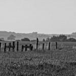 Weizenfeld mit Koppelzaun