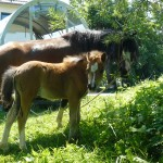 Welsh Ponys